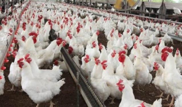 Brasil é investigado por concorrência desleal nas exportações de carne de frango