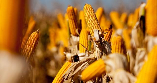 PEJUÇARA, RS, BRASIL, 08.02.14: Governador Tarso Genro participa da abertura da colheita do milho em Pejuçara. Foto: Pedro Revillion/Palácio Piratini